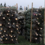Weihnachtsbäume versandbereit auf Paletten