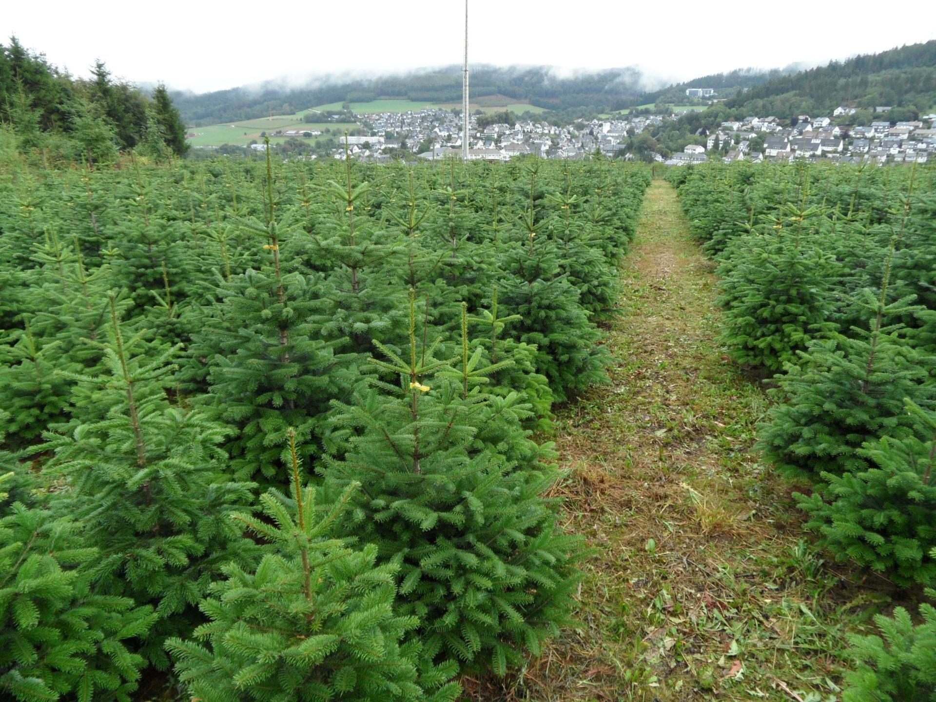 Weihnachtsbäume 1